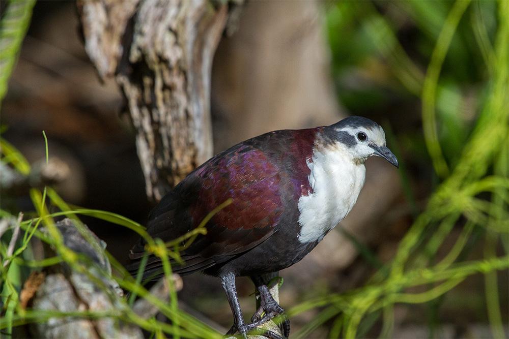 island-conservation-invasive-species-preventing-extinctions-acteon-gambier-Polynesian-ground-dove