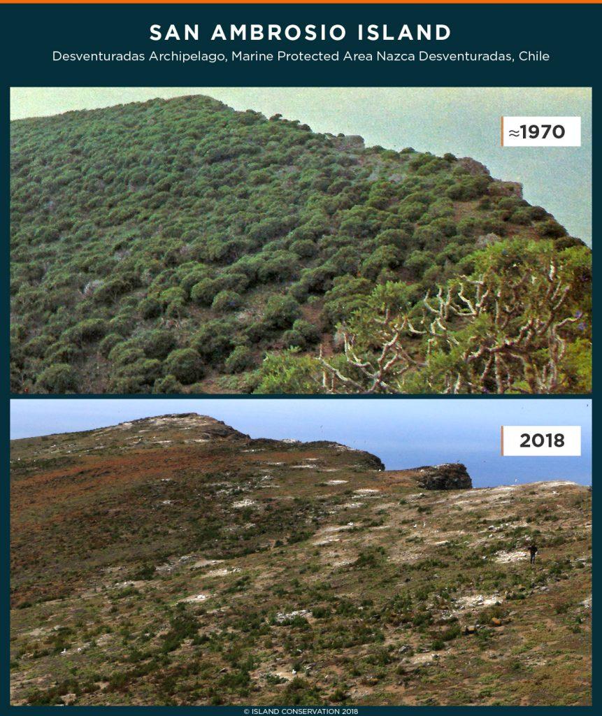 island conservation thamnoseris lacerata san ambrosio chile desventuradas
