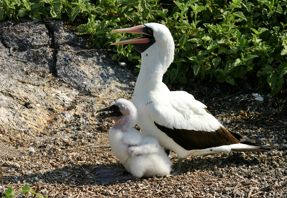 island-conservation-invasive-species-preventing-extinction-seabird-Nazca Booby