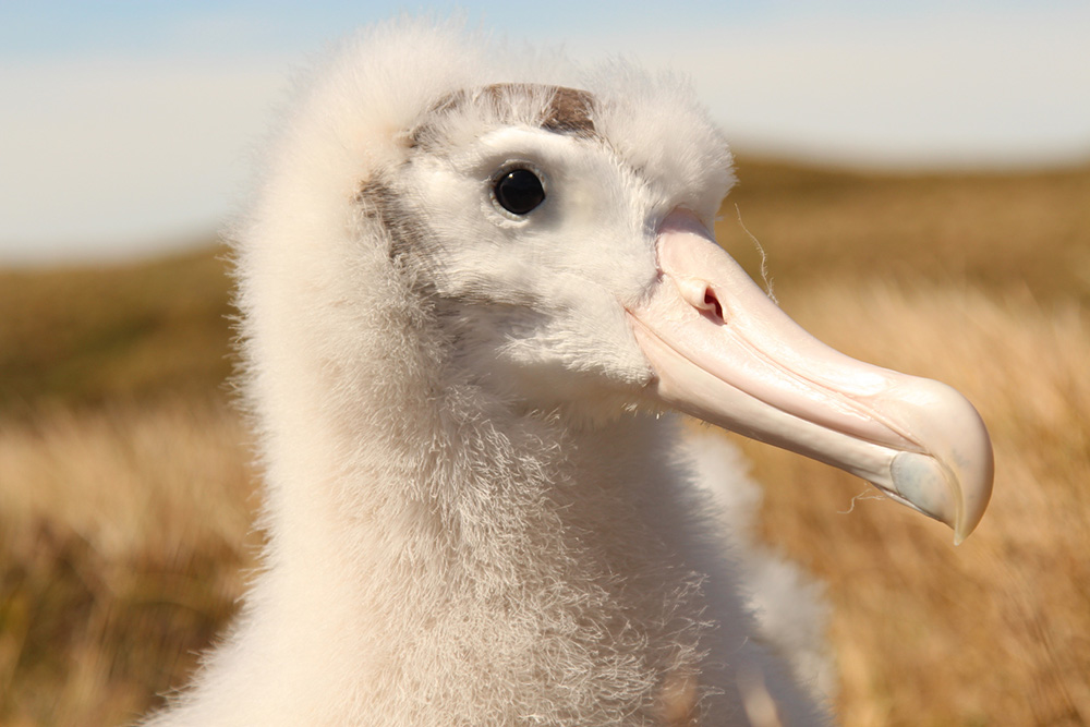 island-conservation-invasive-species-preventing-extinctions-gough-island-tristan-albatross-chick