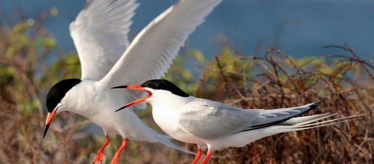 island-conservation-invasive-species-preventing-extinctions-roseate-tern-coquet-island