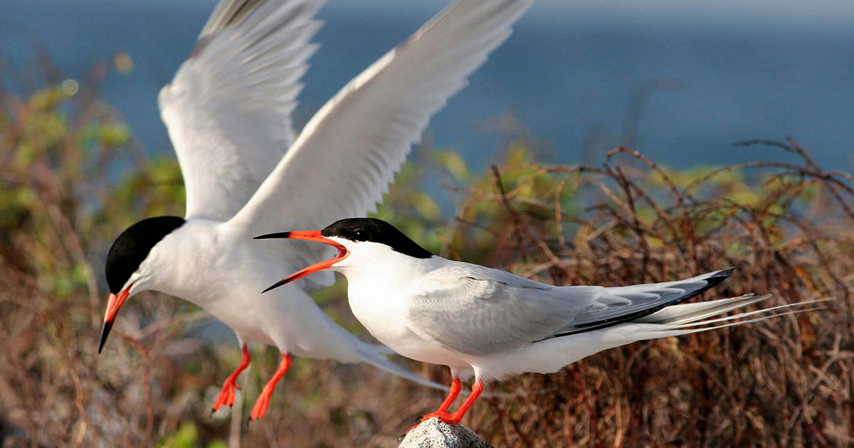 island-conservation-invasive-species-preventing-extinctions-roseate-tern-coquet-island