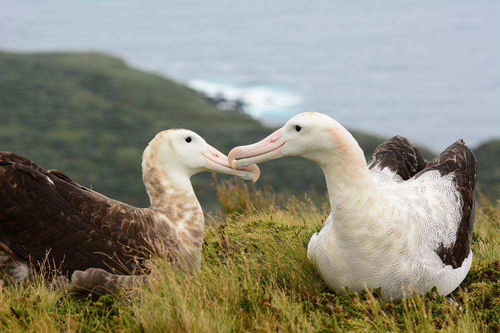 island-conservation-invasive-species-preventing-extinctions-tristan-albatross-pair