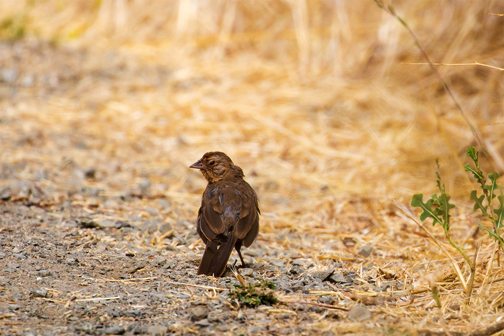 island-conservation-invasive-species-preventing-extinctions-california-towhee-franzen-birds