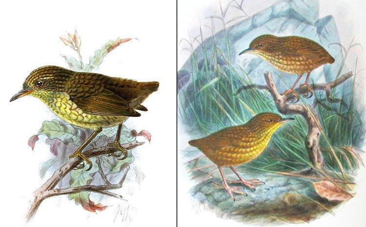 island-conservation-invasive-species-preventing-extinctions-cat-wars-Stephens-Island-Wren