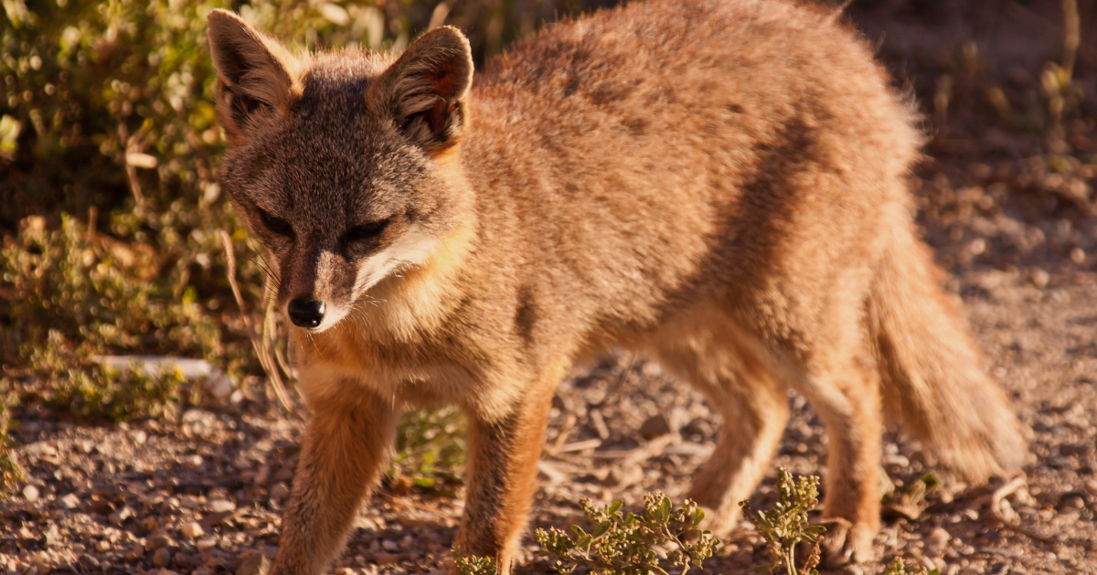 island-conservation-invasive-species-preventing-extinctions-California-channel-island-fox-san-nicolas-island