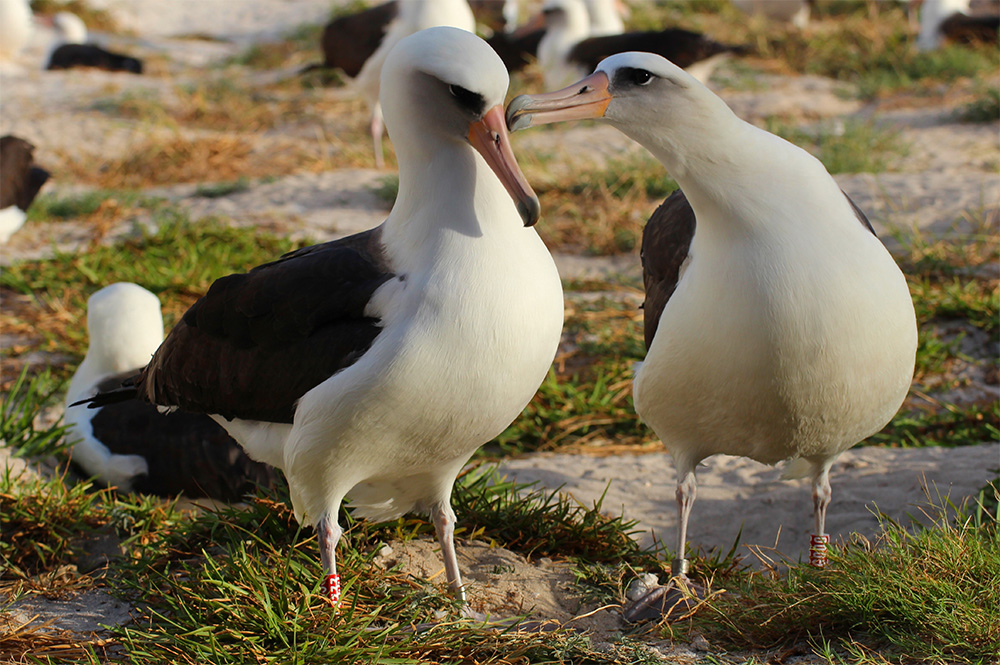 island-conservation-invasive-species-preventing-extinctions-wisdom-laysan-albatross-mate