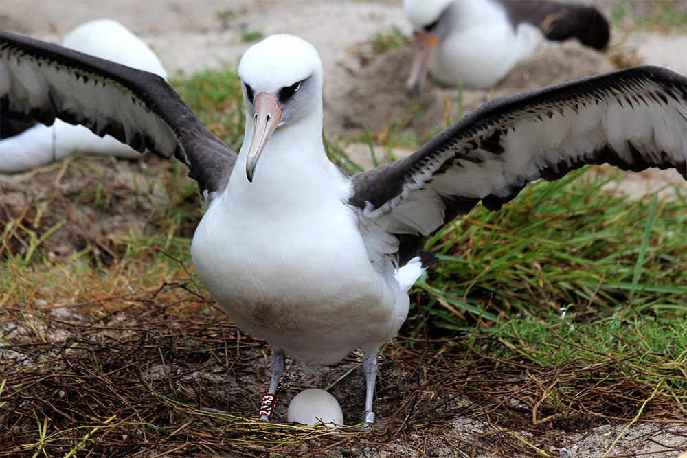 island-conservation-invasive-species-preventing-extinctions-wisdom-laysan-albatross-midway-atoll-egg-2018