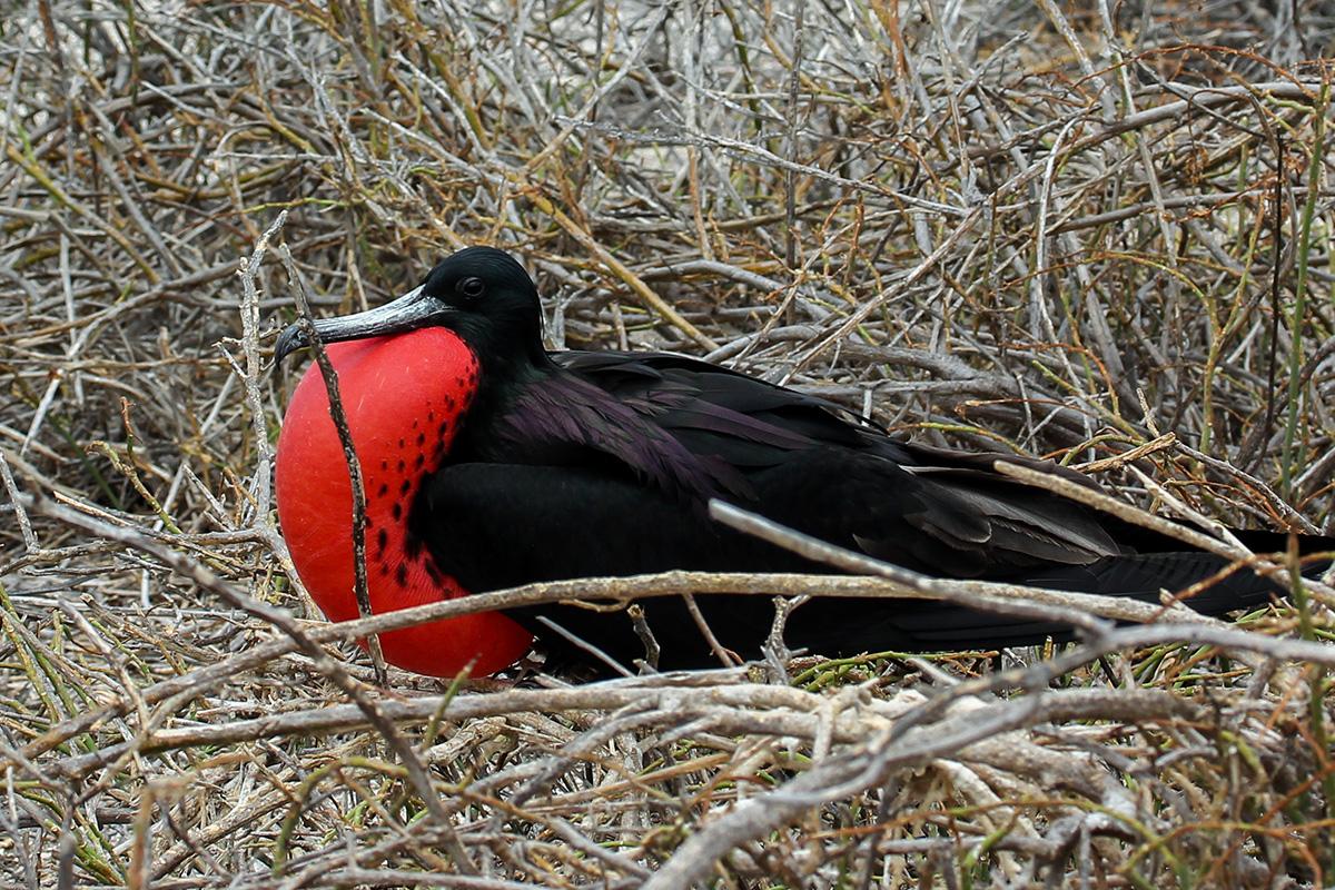 Island Conservation Galapagos National Park Seymour Norte invasive species Drone Magnificent frigatebird (Fregata magnificens)