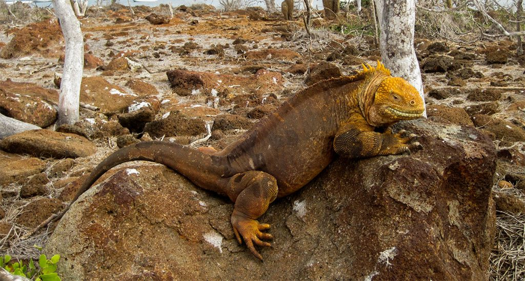 Conolophus subcristatus galapagos national park land iguanas island conservation