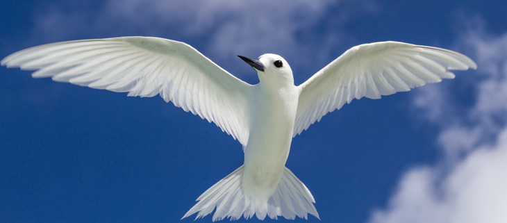 island-conservation-invasive-species-preventing-extinctions-BBC-the-inquiry-palmyra-atoll-white-tern-feat