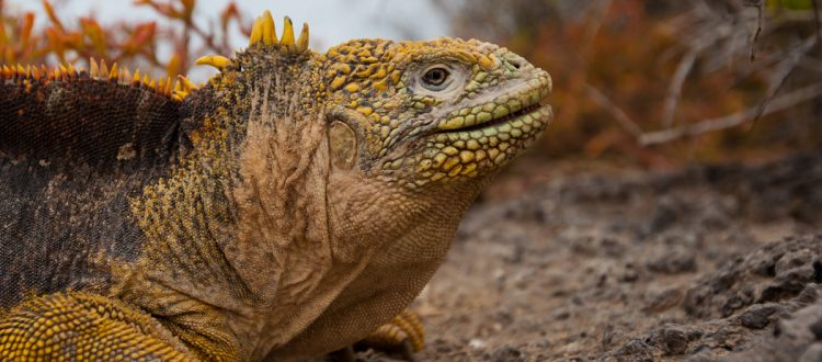 island-conservation-invasive-species-preventing-extinctions-galapagos-land-iguana-santiago-island