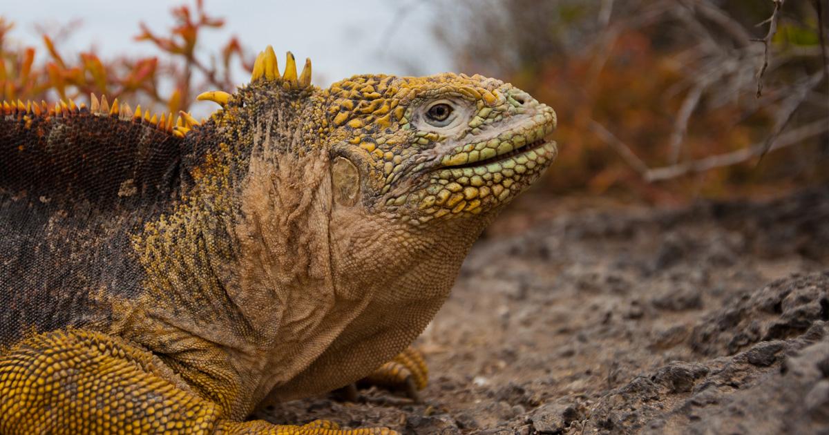 island-conservation-invasive-species-preventing-extinctions-galapagos-land-iguana-santiago-island