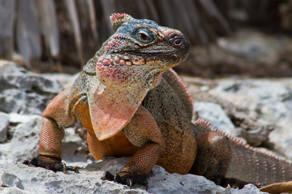 Saving the Allen Cay Rock Iguana