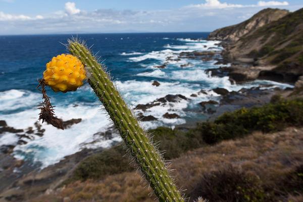 Higo Chumbo Cactus Resurges
