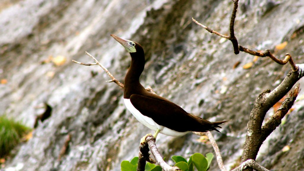 Island-conservation-preventing-extinction-invasive-species-cocos-island-costa-rica-brown-booby