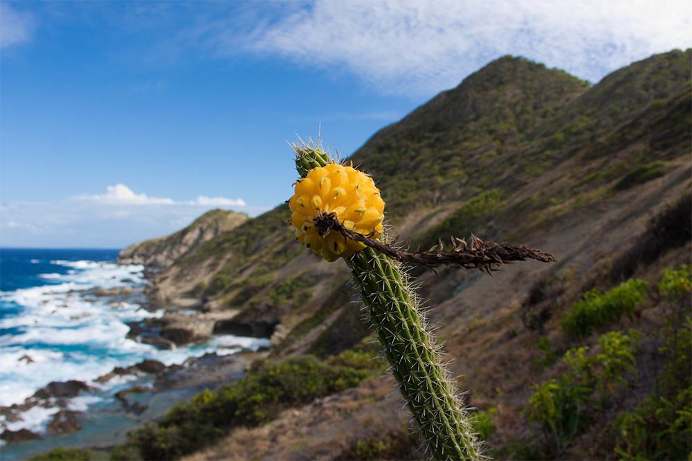 island-conservation-invasive-species-preventing-extincitons-higo-chumbo-cactus-desecheo-puerto-rico