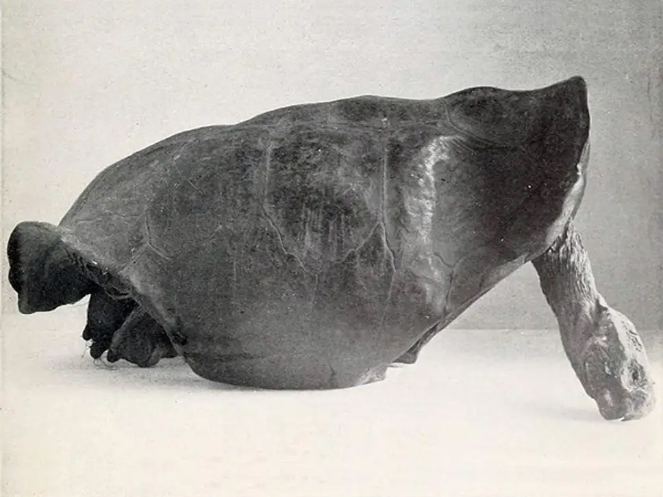 island-conservation-invasive-species-preventing-extinctions-fernandina-galapagos-tortoise-shell