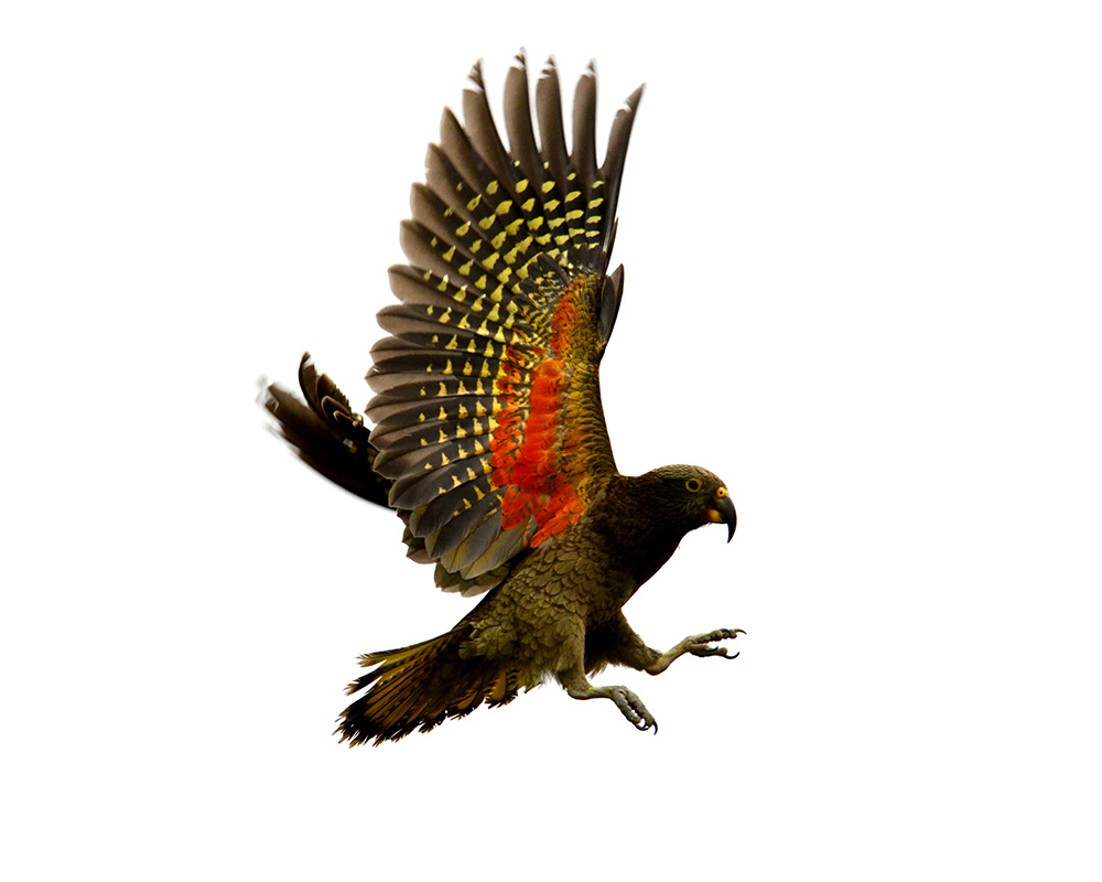 island-conservation-invasive-species-preventing-extinctions-kea-wings-body-photo
