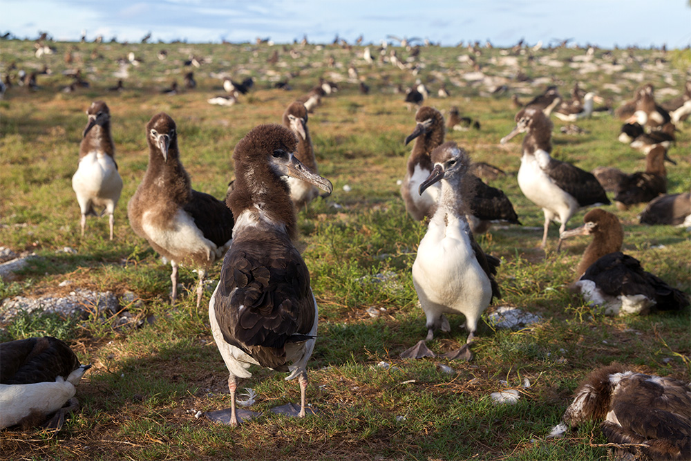 island-conservation-invasive-species-preventing-extinctions-midway-atoll-laysan-albatross-chicks