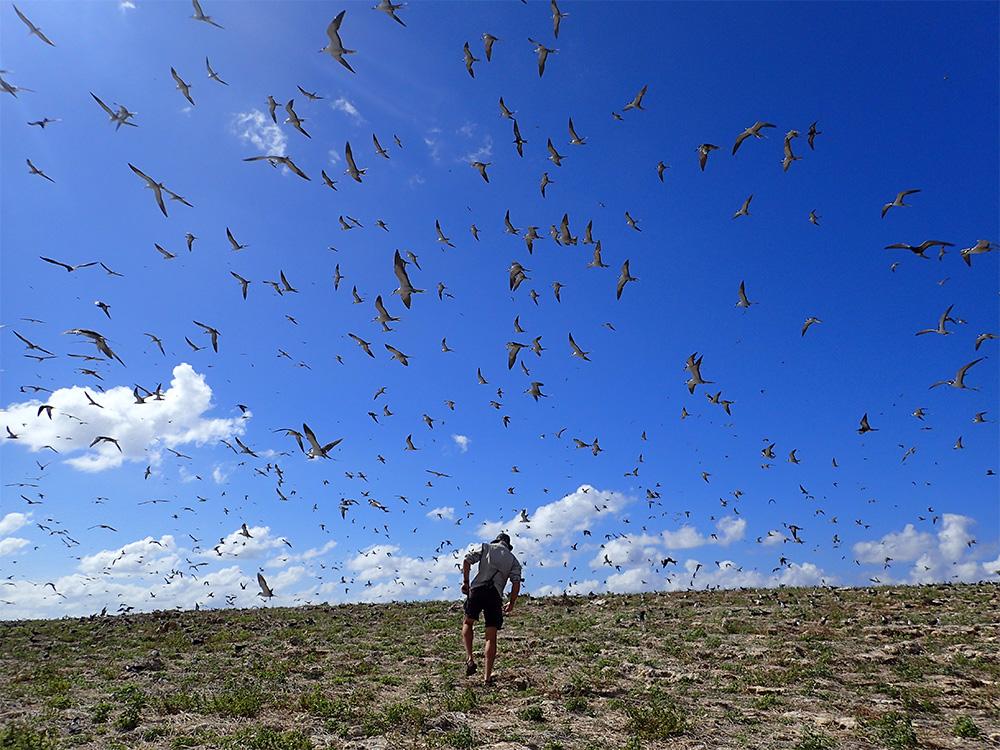 island-conservation-invasive-species-preventing-extinctions-teuaua-restoration-seabirds-nest-richard-griffiths
