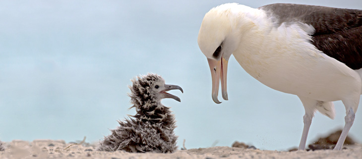 island-conservation-preventing-extinctions-invasive-species-midway-atoll-laysan-albatross-feat