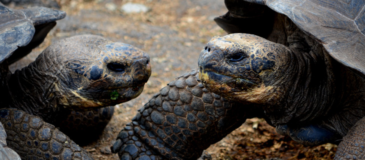 island-conservation-preventing-extinctions-fernandina-galapagos-tortoise-feat