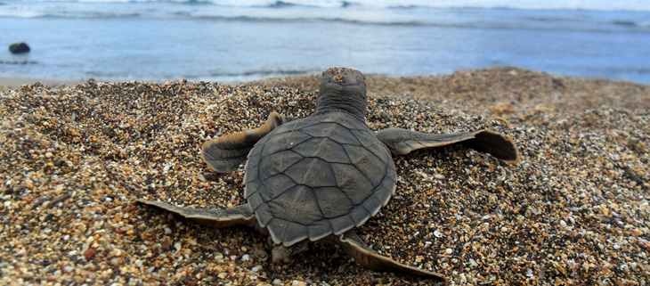 island-conservation-invasive-species-preventing-extinctions-green-sea-turtle-hatchling-feat