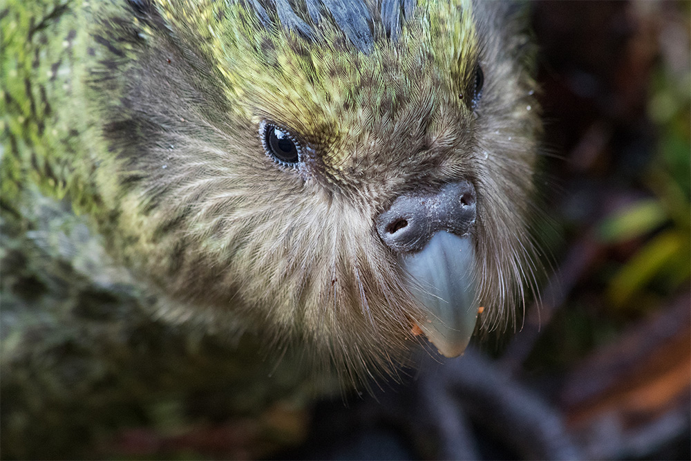 island-conservation-preventing-extinctions-the-kakapo