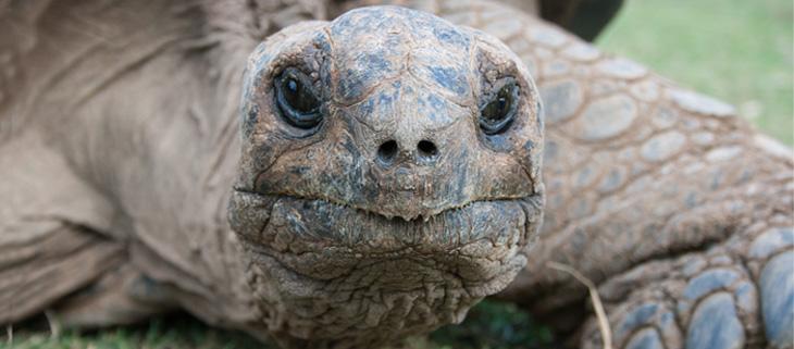 island-conservation-invasive-species-preventing-extinctions-aldabra-giant-tortoise-aldabra-island-seychelles-archipelago-feat
