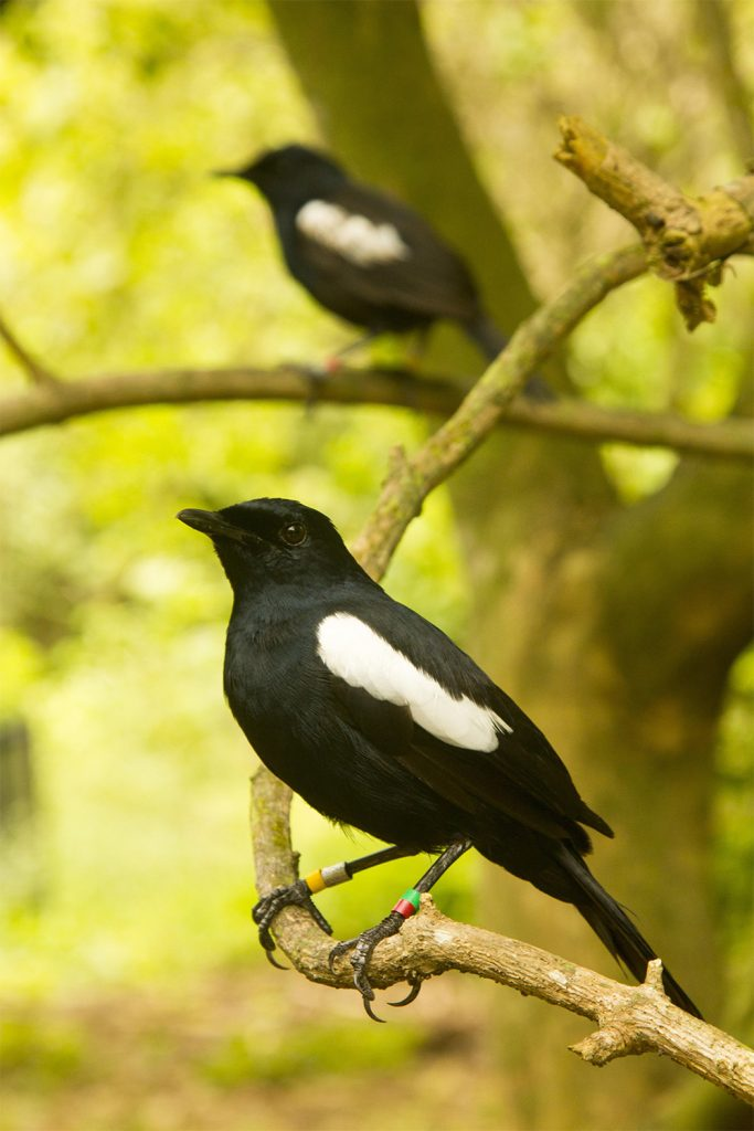 island-conservation-invasive-species-preventing-extinctions-aldabra-seychelles-magpie-robin