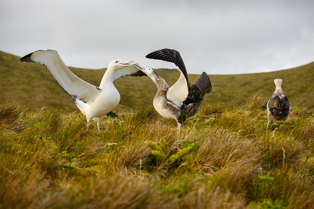 island-conservation-invasive-species-preventing-extinctions-gough-island-tristan-albatross