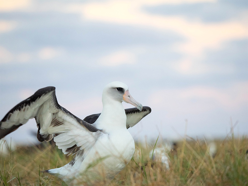 island-conservation-invasive-species-preventing-extinctions-laysan-albatross-midway-un-high-seas-treaty-marine-conservation
