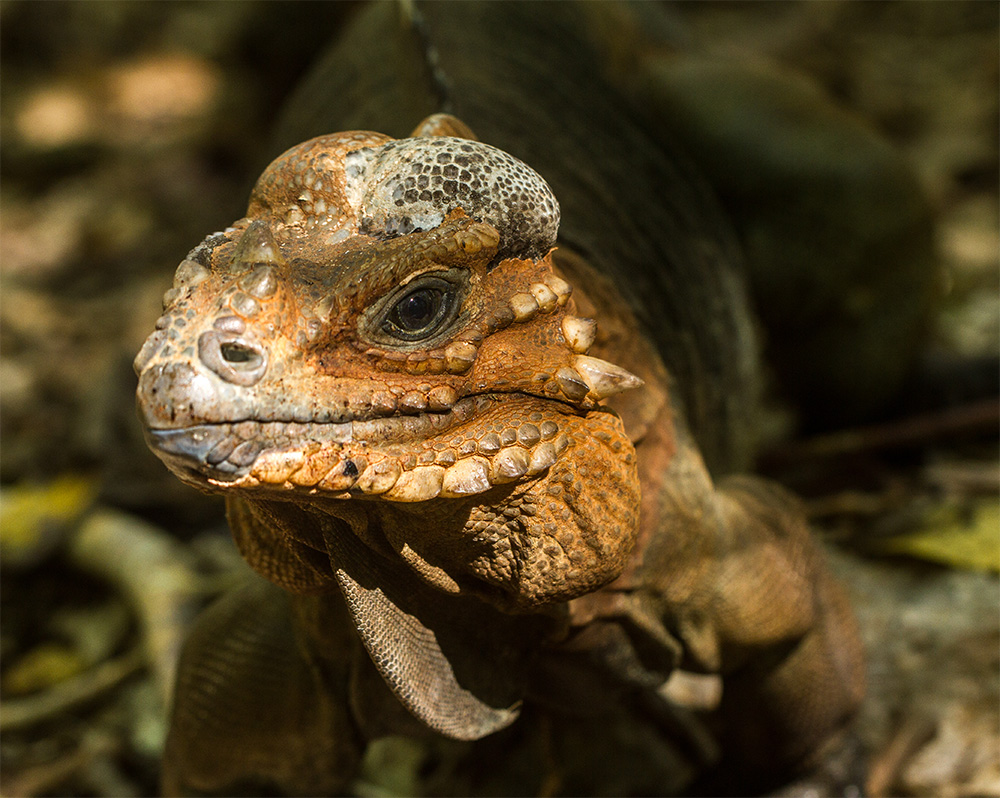 island-conservation-invasive-species-preventing-extinctions-mona-island-iguana-conservation