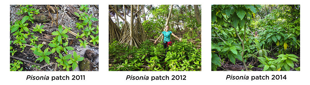 island-conservation-invasive-species-preventing-extinctions-palmyra-atoll-pisonia-regrowth-earth-day