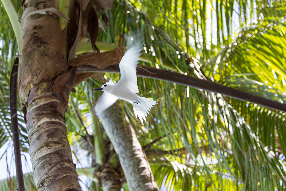 island-conservation-invasive-species-preventing-extinctions-palmyra-atoll-white-tern