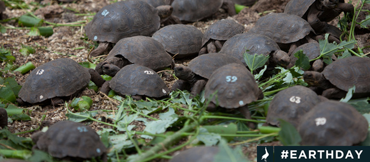island-conservation-invasive-species-preventing-extinctions-pinzon-giant-tortoise-hatchling-numbered-galapagos-feat