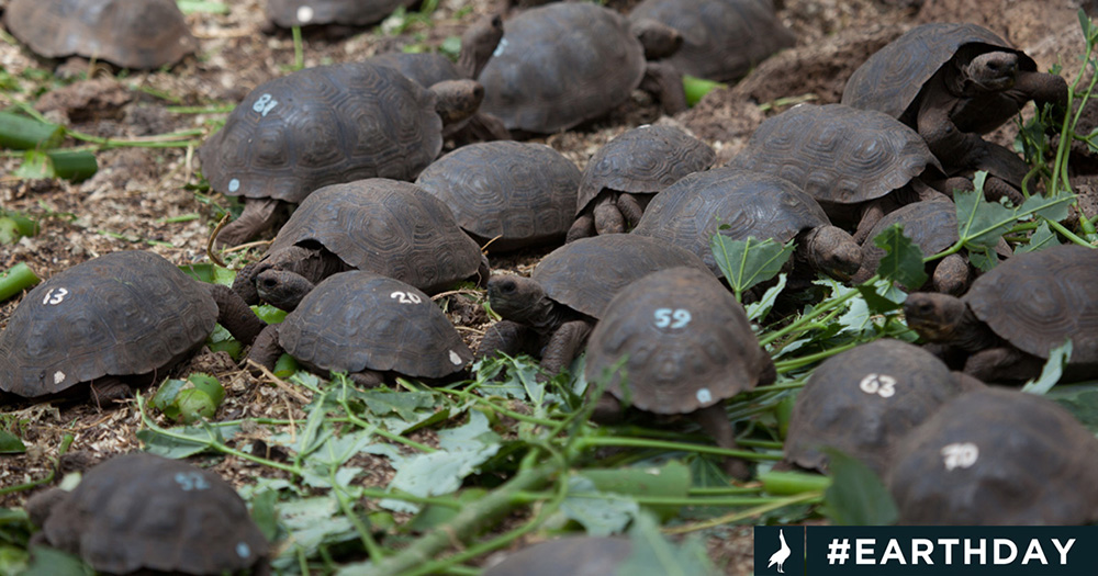 island-conservation-invasive-species-preventing-extinctions-pinzon-giant-tortoise-hatchling-numbered-galapagos
