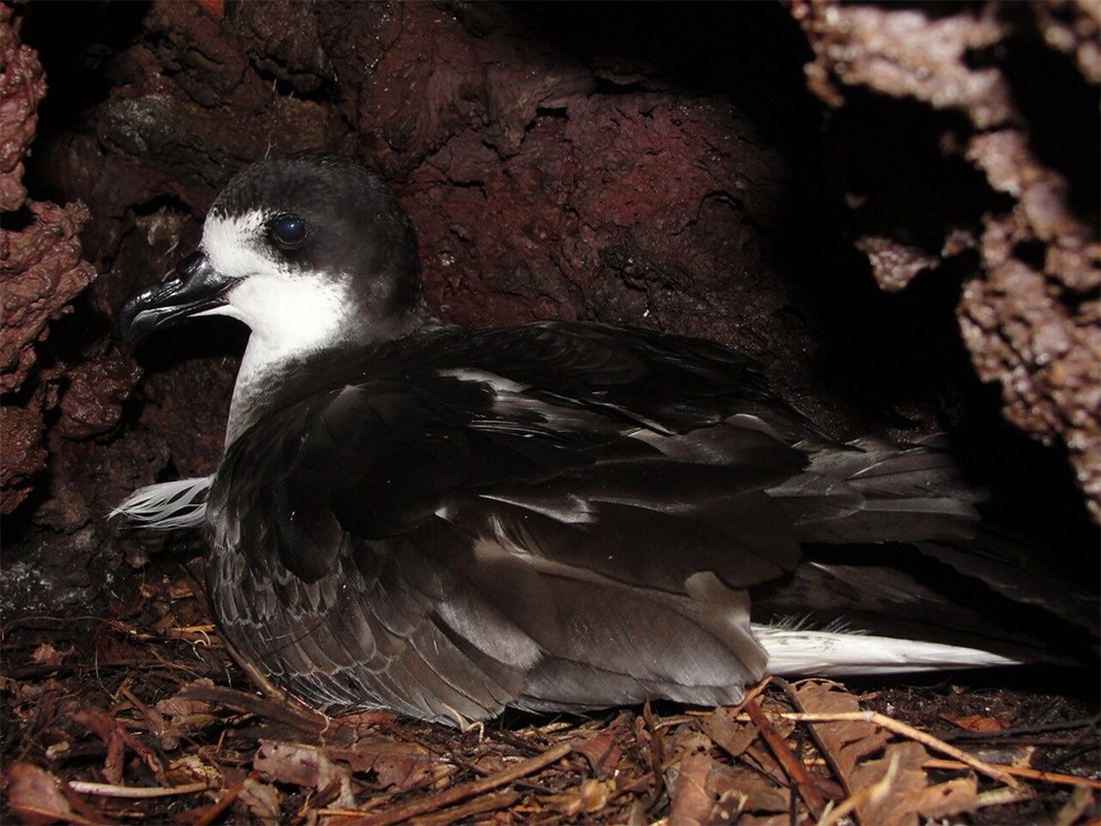 island-conservation-invasive-species-preventing-extinctions-wandering-BBC-newsroom-nick-holmes-galapagos-petrel-floreana