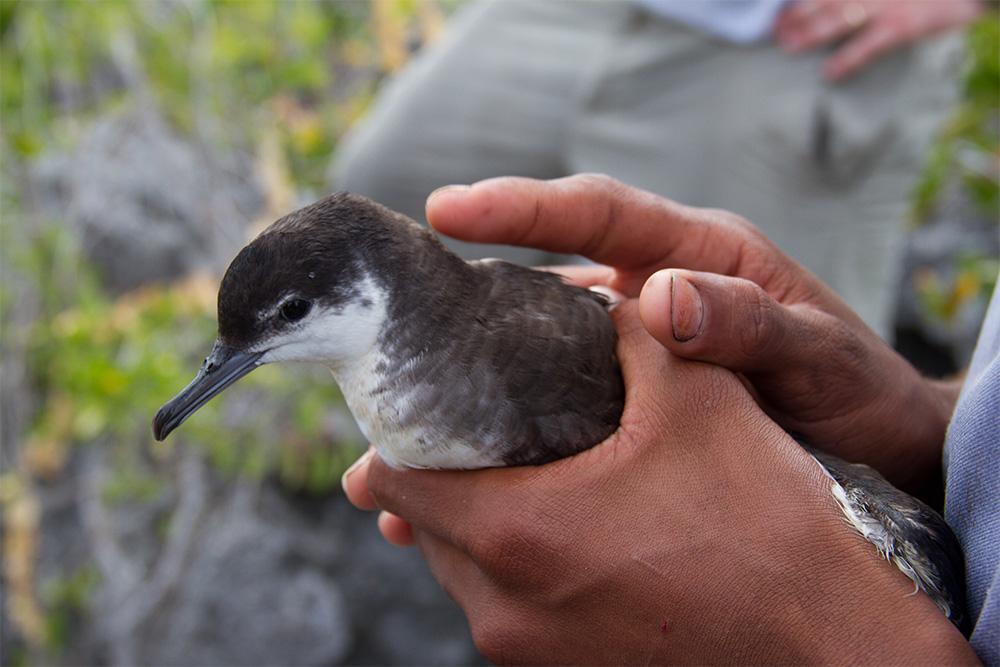 island-conservation-preventing-extinctions-desecheo-shearwater-seabirds-terns