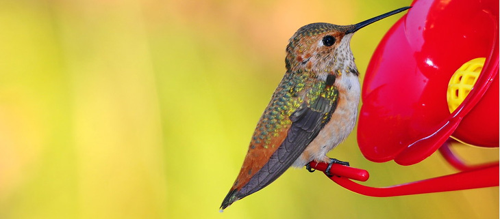 island-conservation-preventing-extinctions-bird-feeders-hummingbird-feat