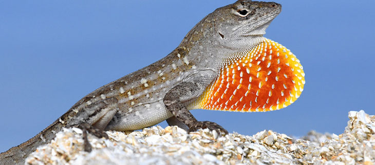 island-conservation-preventing-extinctions-maynards-anole-feat