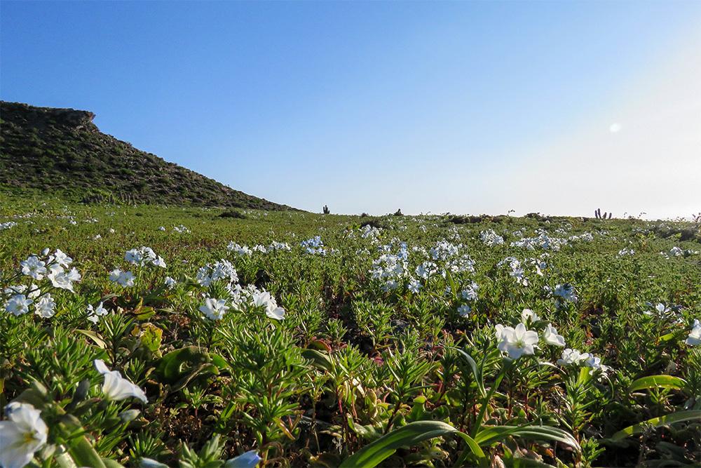 island-conservation-invasive-species-preventing-extinctions-chanaral-bloom-restoration-invasive-species-removal-un-ipbes-report