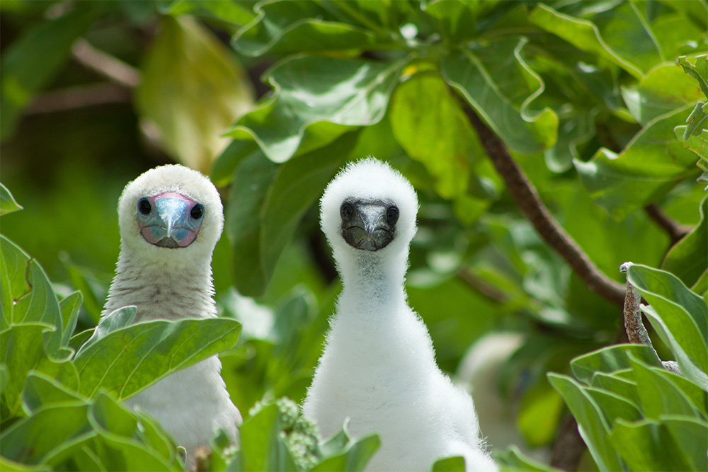 island-conservation-invasive-species-preventing-extinctions-palmyra-atoll-red-footed-booby-nesting