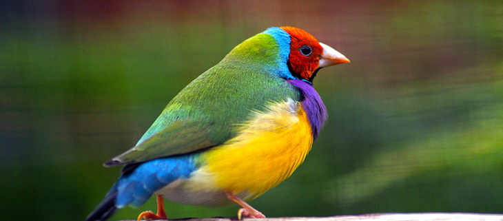 island-conservation-preventing-extinctions-australia-invasives-gouldian-finch-feat
