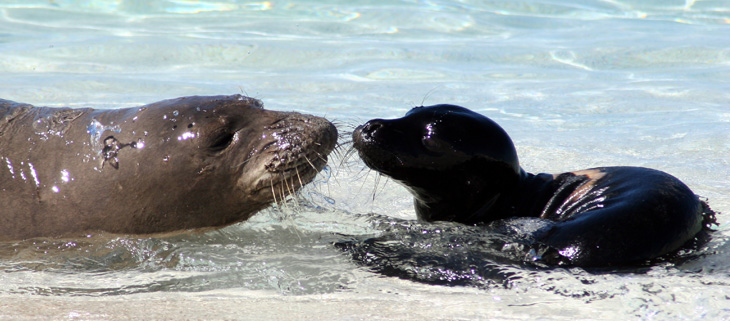 island-conservation-preventing-extinctions-outdoor-cats-hawaiian-monk-seal-feat