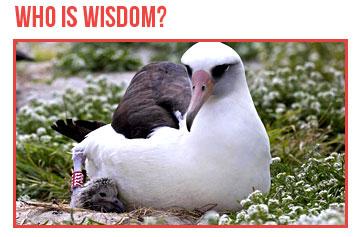 island conservation laysan albatross frans lanting midway atoll