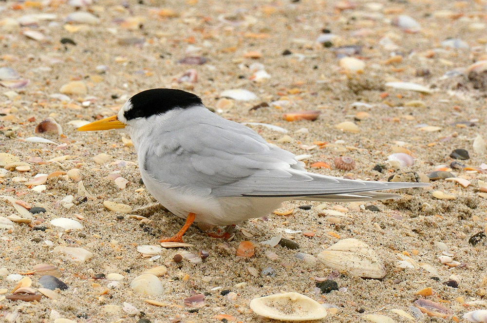 island-conservation-invasive-species-preventing-extinctions-new-zealand-fairy-tern