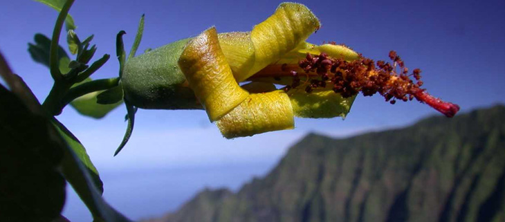 island-conservation-preventing-extinctions-hibiscadelphus-woodii-feat