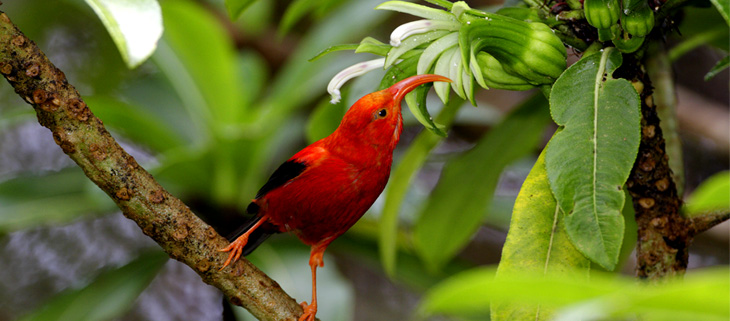 island-conservation-preventing-extinctions-honeycreeper-ohia-feat